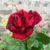 Цветя - Роза