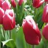 Цветя - Keukenhof - Холандия