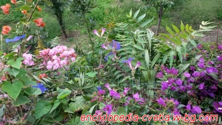 Цветята на Капри