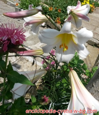 Цветя ог градината