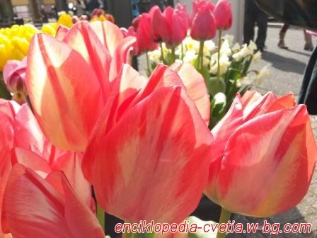 Цветя - Холандия